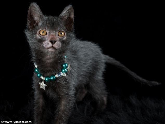 gatto lycoi