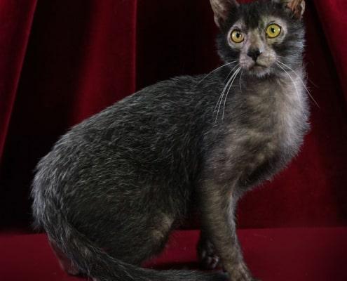 Lycoy gatto - foto di Silvia pampallona