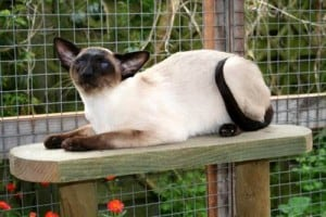 Gatto siamese seal point