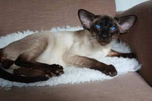Il Siamese: un gatto molto intelligente