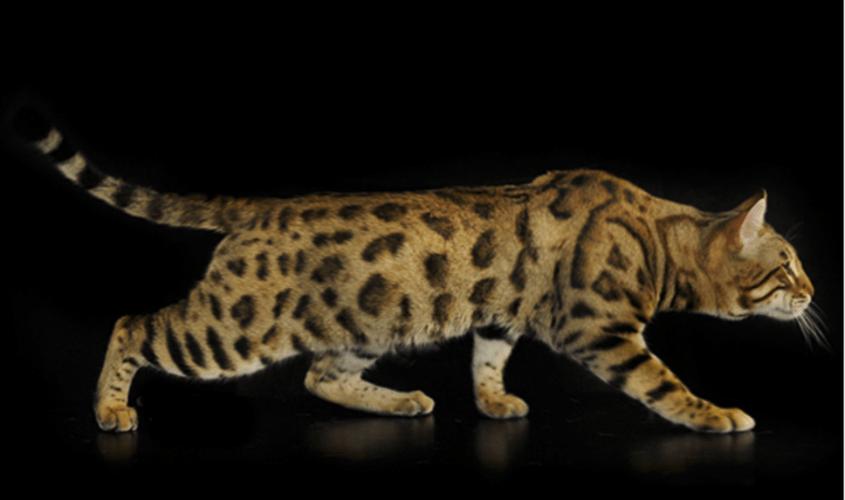 gatto Bengal rosette