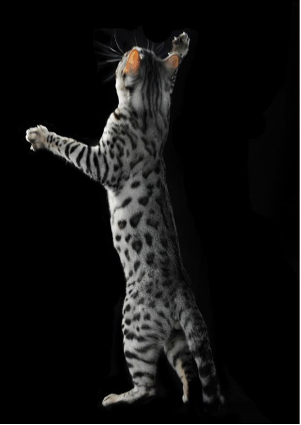 gatto Bengal silver - foto silvia Pampallona