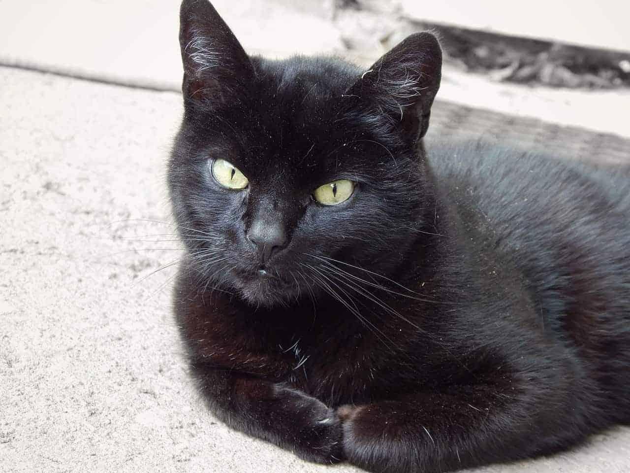 gatto nero morto