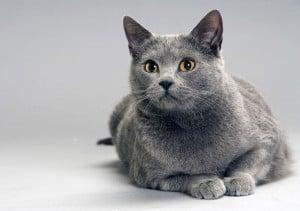 Il gatto di razza certosino