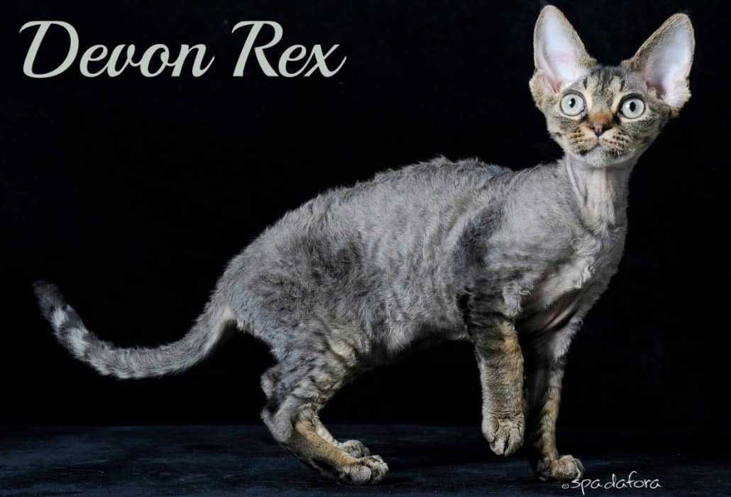 Gatto Devon Rex - foto di Francesco Spadafora
