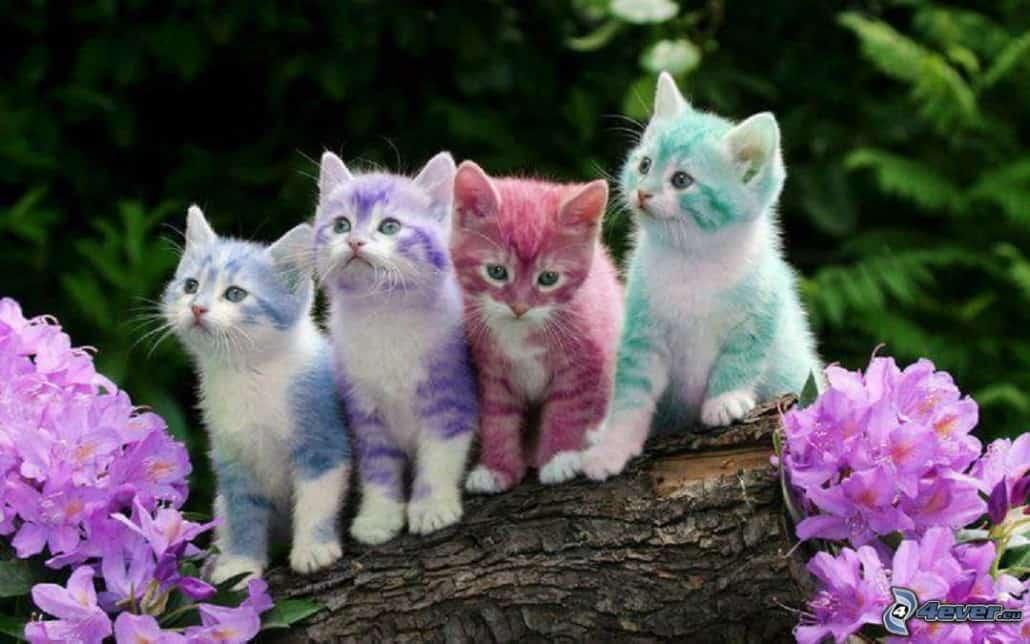 I Colori Del Pelo E Tipi Di Manto Dei Gatti Miciogattoit