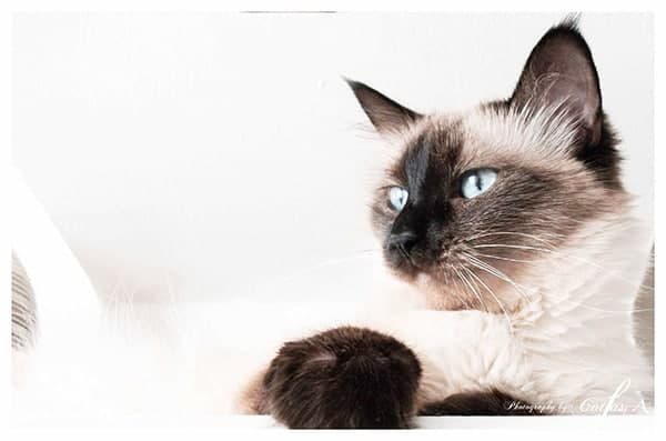 gatto siamese thai colourpoint
