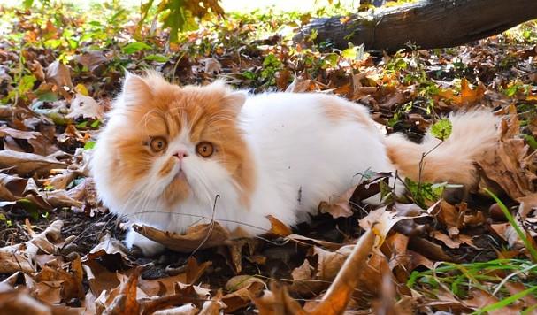 Gatto persiano rosso e bianco