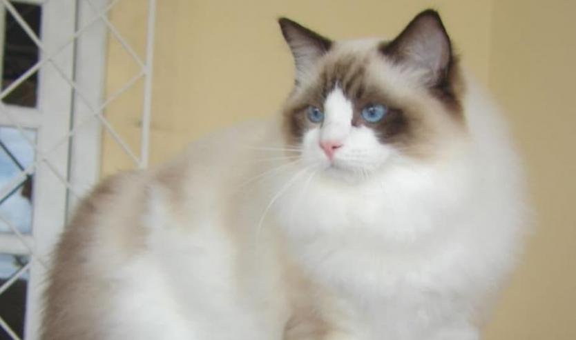 Ragdoll: gatto docile da compagnia