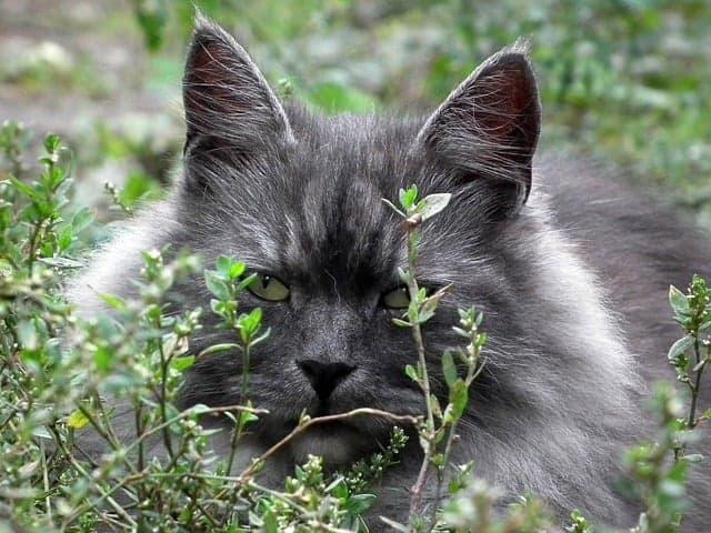 Il gatto siberiano foto