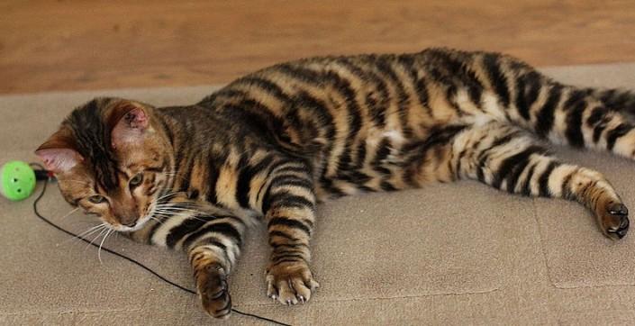 gatto Toyger