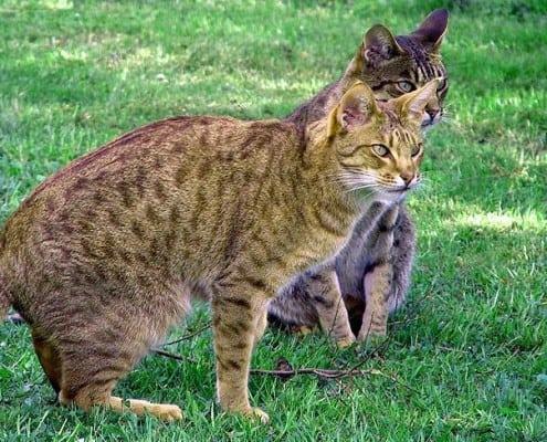Gatto Ocicat