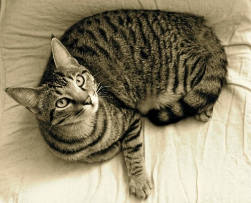 gatto soriano o meticcio