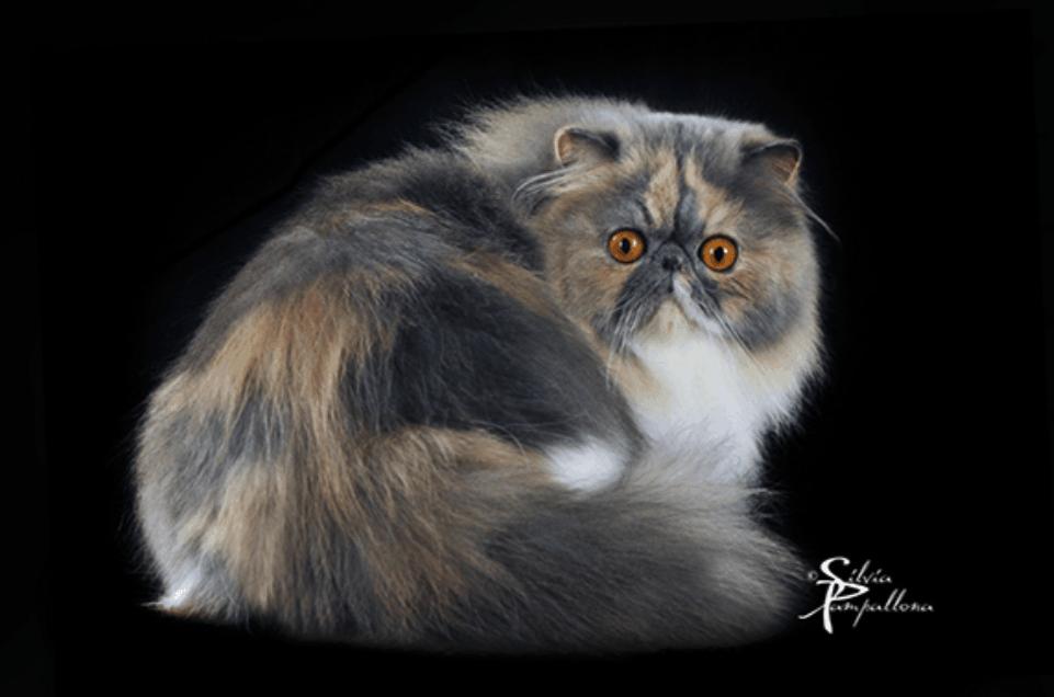 Gatto persiano - Foto Silvia Pamapallona