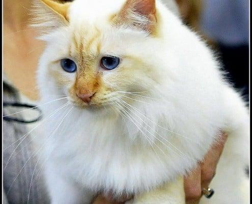 Razze Di Gatti A Pelo Lungo Miciogattoit