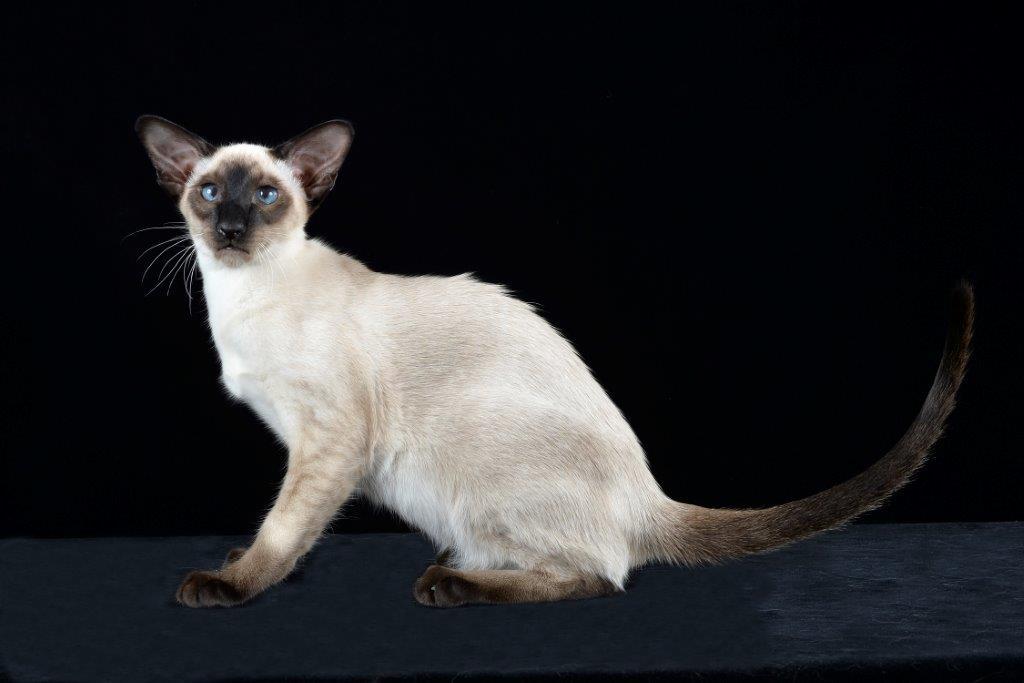 il gatto siamese