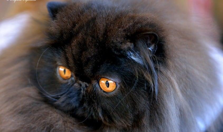 Gatto Persiano nero