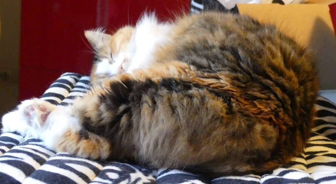 Quanto Dorme Un Gatto Miciogattoit
