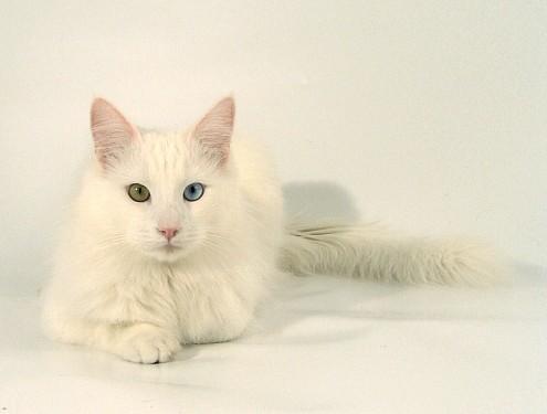 Gatto Angora Turco