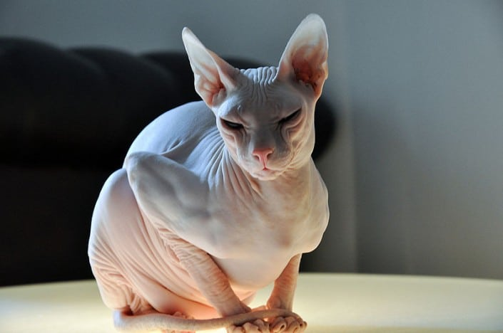 Gatto Don Sphynx