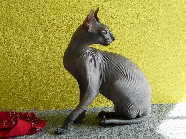 Sphynx gatto senza pelo nero