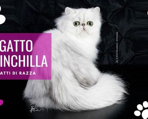 gatto chinchilla - foto Silvia Pampallona