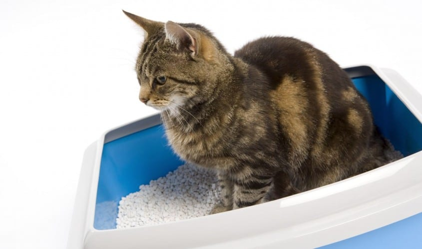 toxoplasmosi nel gatto e gravidanza