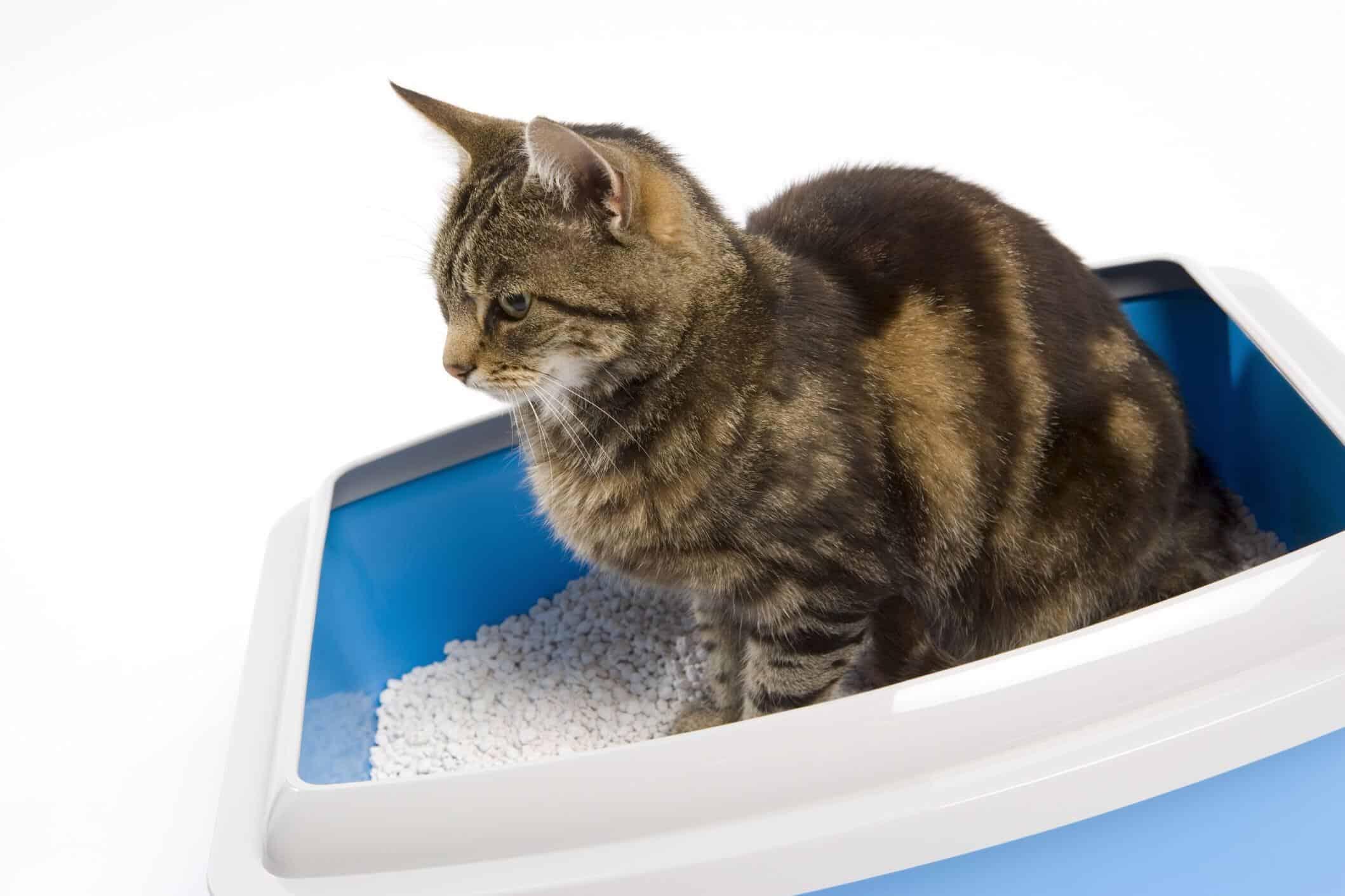 i gatti possono prevenire la gravidanza umana