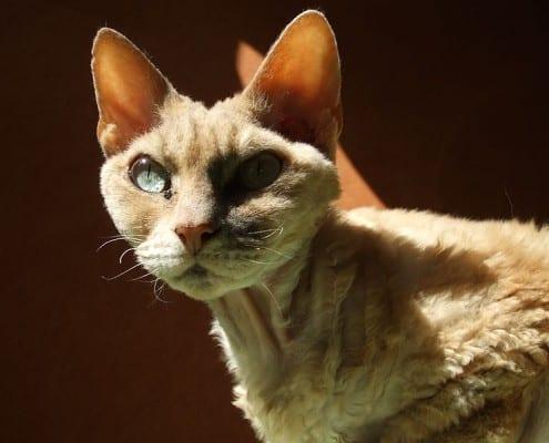 Devon Rex gatto