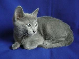 Blu di Russia gattino