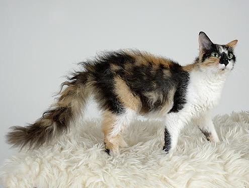 gatto Laperm