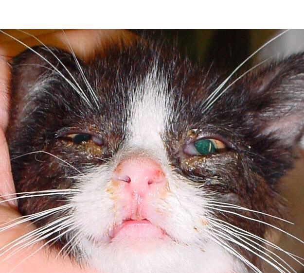 herpes virus gatto