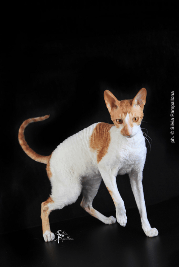 Cornish Rex - Foto Silvia Pampallona