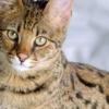 gatto Savannah muso