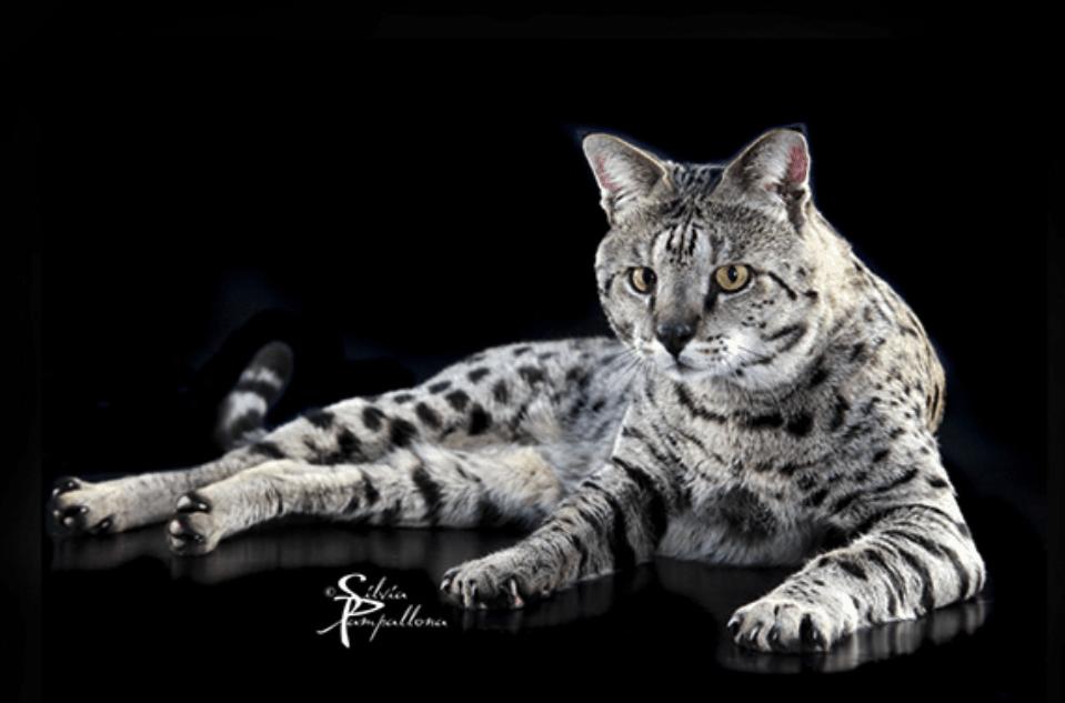 Eccezionale Il gatto Savannah, tutto su caratteristiche, prezzo e carattere  VW11