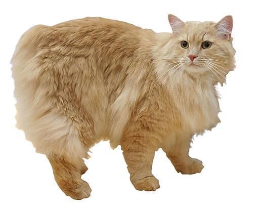 Gatto Cymric Caratteristiche Di Un Gatto Senza Coda Miciogattoit