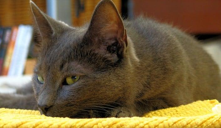 gatto korat