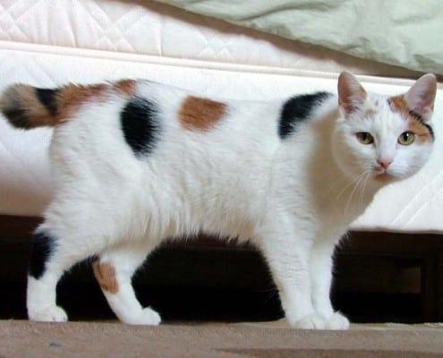 gatto manx