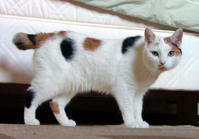 Gatto Manx Carattere Prezzo Ed Allevamenti Di Un Gatto Senza Coda