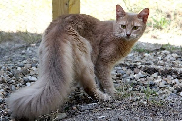Grayish Blue Cat