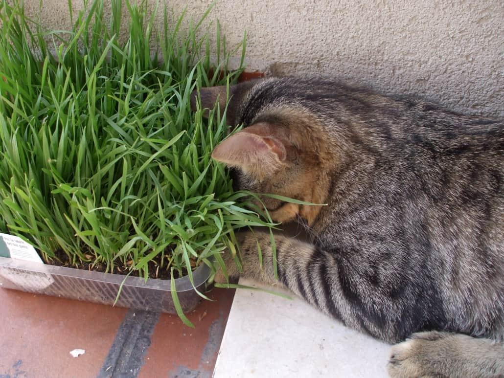 L 39 erba gatta che cos 39 quali effetti ha sul gatto e come for Erba gatta effetti