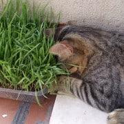 Il raffreddore del gatto quali sono i sintomi e come si for Erba gatta effetti