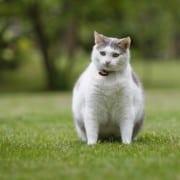gatto obeso e gatto grasso cosa fare
