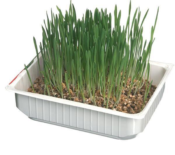 Come si coltiva l'erba gatta