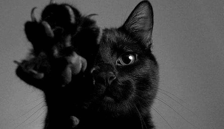 bartonellosi malattia da graffio di gatto