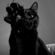 Malattia da graffio di gatto: bartonellosi