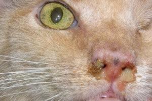 Rinotracheite o raffreddore del gatto