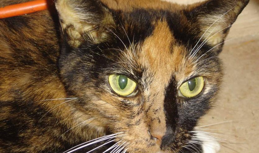 Gatto apatico: cause e sintomi