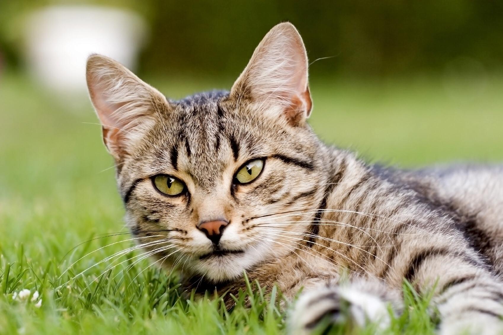 Gatto apatico e inappetente: sintomi
