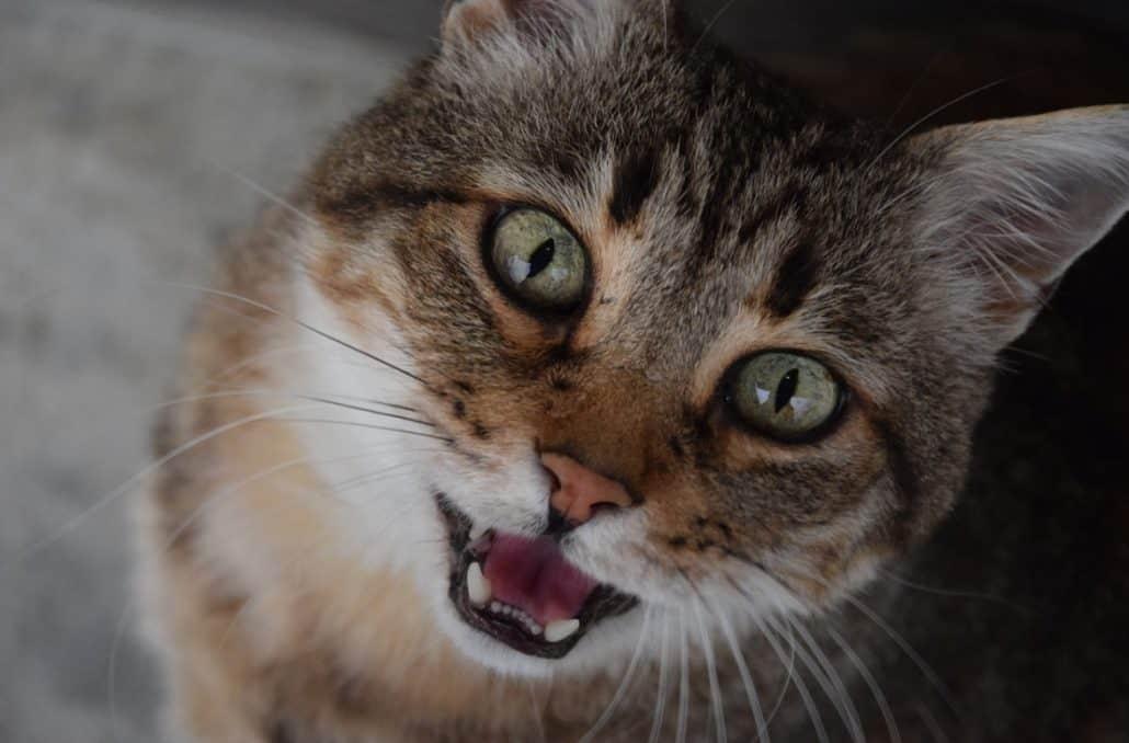 Gatto Che Miagola: Cosa Significa Il Verso Del Gatto